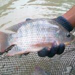 Budi Daya Ikan Nila Monosex, Mulai Pembenihan Sampai Panen