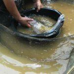 Raup Untung dengan Budi Daya Ikan Baung