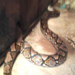 Ngeri, Ular Piton 4 Meter Sembunyi di Rumah Warga Surabaya