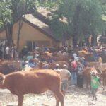Menjelang Ramadan, Harga Sapi di Situbondo Anjlok
