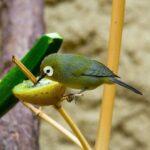 Menjemput Rezeki dengan Beternak Burung Pleci