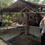 Jelang Ramadan, Pencurian Sapi Marak di Situbondo