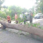 Mobil Tertimpa Pohon Tumbang di Situbondo, Satu Penumpang Patah Tulang