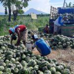 Panen Blewah di Bulan Ramadan, Petani Situbondo Untung Besar