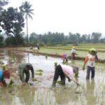 Masuk Musim Tanam Kedua, Petani Situbondo Waswas Hama Penggerek Batang
